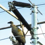 Power lines endangering vultures
